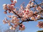 皇居東御苑の寒桜
