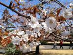 皇居東御苑の山桜