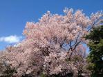 皇居東御苑のコシノヒガン