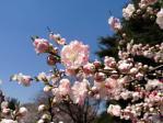 新宿御苑のゲンペイモモ