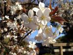 浜離宮恩賜庭園の山桜