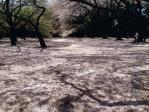 新宿御苑の花吹雪