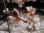 新宿御苑、花吹雪の山桜