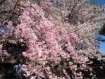 新宿御苑の八重紅枝垂