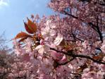 新宿御苑の長州緋桜