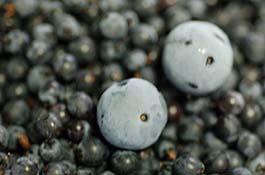 syou-bilberry