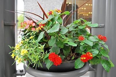 ODOMAの花