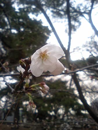 桜が咲いてる! (^o^)丿