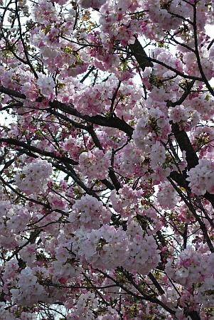 造幣局の桜を撮影