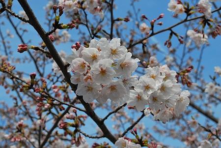 桜を満喫しました。