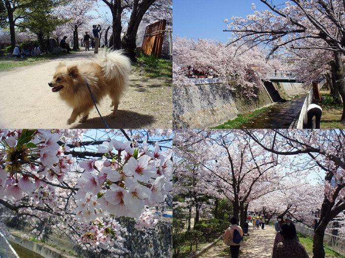 妙法寺川公園でお花見&グルハギ。