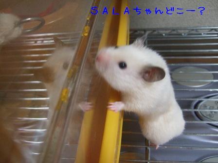 SALAちゃんどこー?