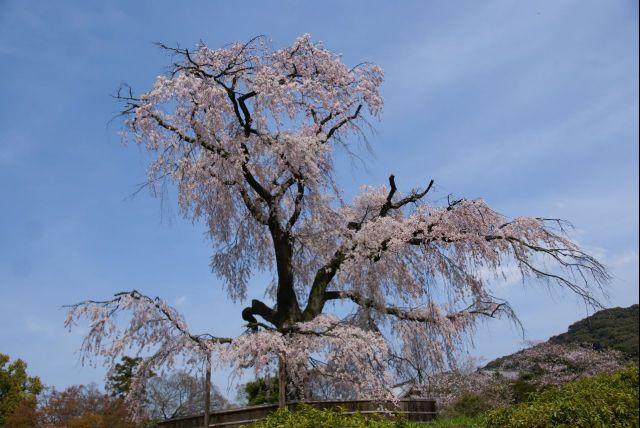 円山公園の枝垂れ桜 0000