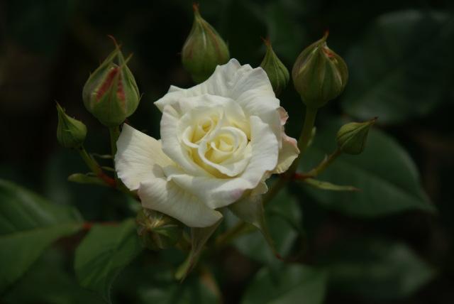 白バラ09.5.3