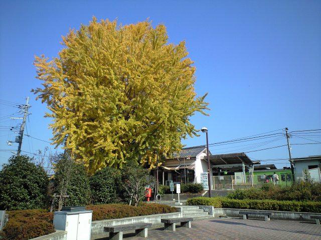 イチョウの木と新田駅