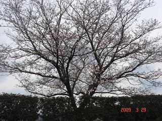 2009桜