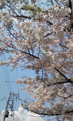 江戸川 桜