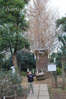 2009年1月7日銀杏の木