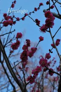 2009年2月7日梅の木