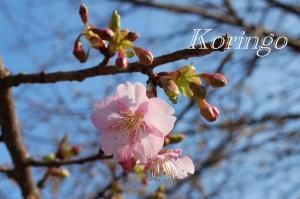 2009年2月7日桜