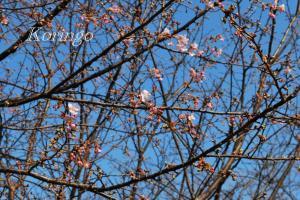 2009年2月7日桜の木2