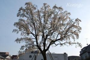 2009年3月19日こぶしの木