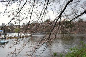 2009年3月23日井の頭公園 さくら