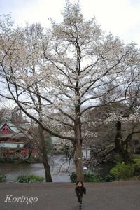 2009年3月23日こぶしの木の下で