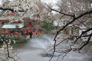2009年3月23日井の頭公園こぶしの木