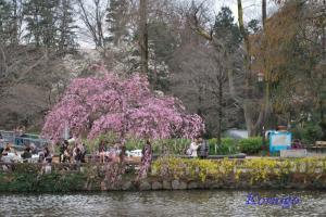 2009年3月23日しだれ桜