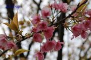 2009年3月23日葉桜