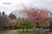 2009年3月23日西園 葉桜