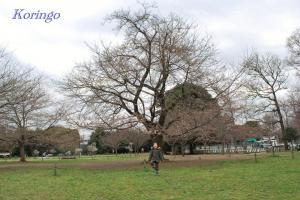 2009年3月23日中央の桜