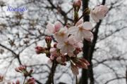 2009年3月23日桜の花