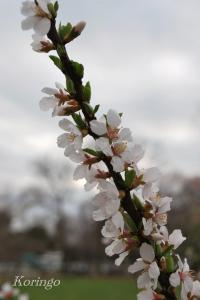 2009年3月23日小さな桜の花