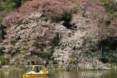 2009年4月3日池の桜