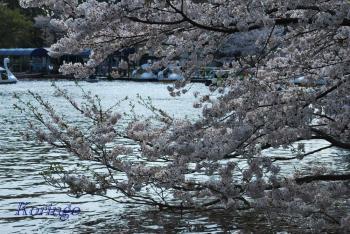 2009年4月6日池のサクラ
