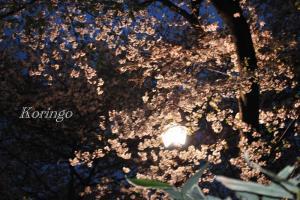 2009年4月8日夜桜