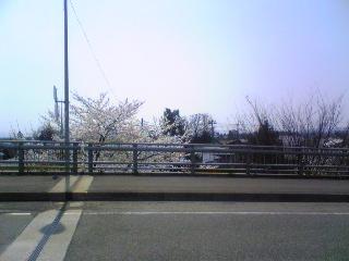 工業のトコの桜