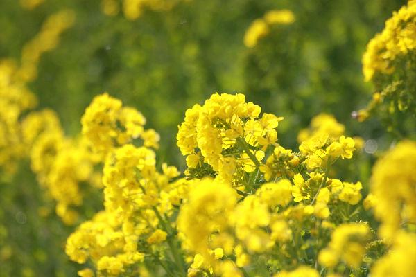 菜の花_05_2