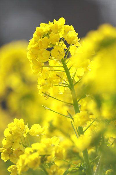 菜の花_05_3