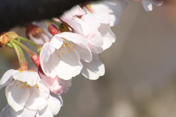 桜_06_1
