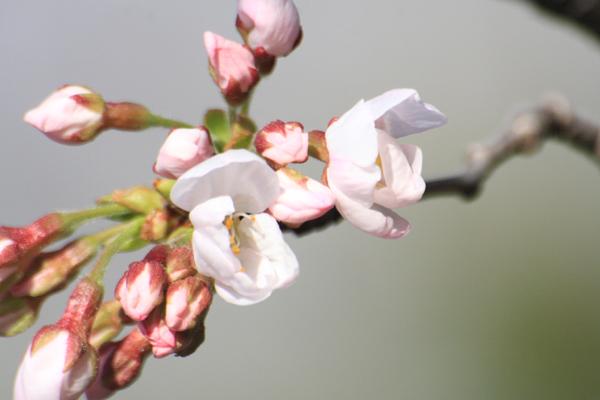 桜_06_2