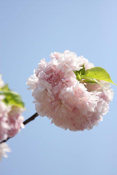 桜_07_01