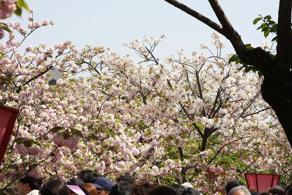 桜_07_04