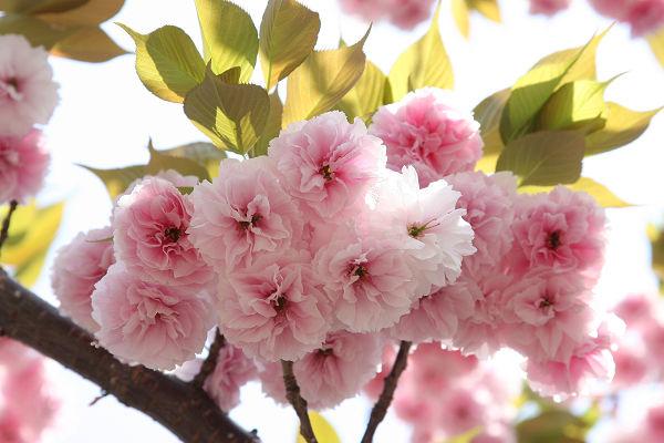 桜_07_05