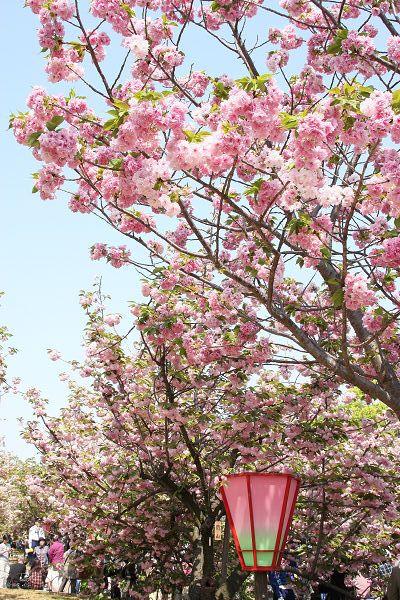 桜_07_06