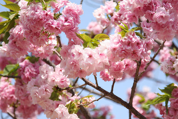 桜_07_07