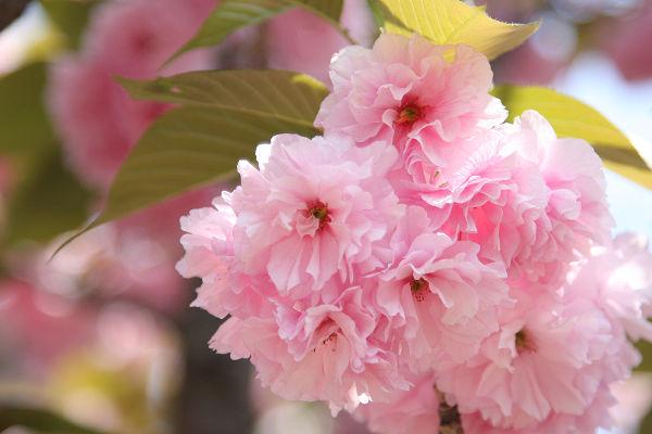 桜_07_08