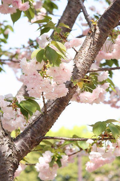 桜_07_09